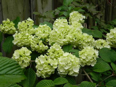 Clusters of white Popcorn doublefile Viburnum plicatum flowers by garden muses: a Toronto gardening blog