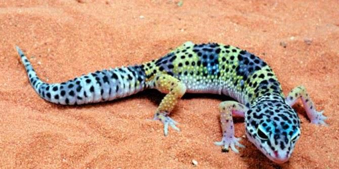 Gecko Lizard