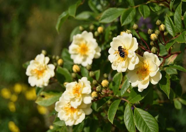 Honungsros Rosa Helenae Hybrida