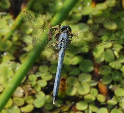 Eastern Pondhawk (Erythemis simplicicollis)
