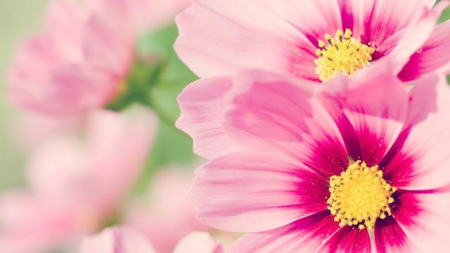 Hình nền hoa đón mùa xuân