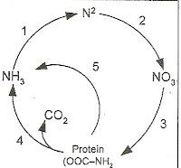 Ipa or science april 2013 bagan berikut menunjukkan daur nitrogen proses fiksasi oeh rhizobium i terjadi pada nomor ccuart Images