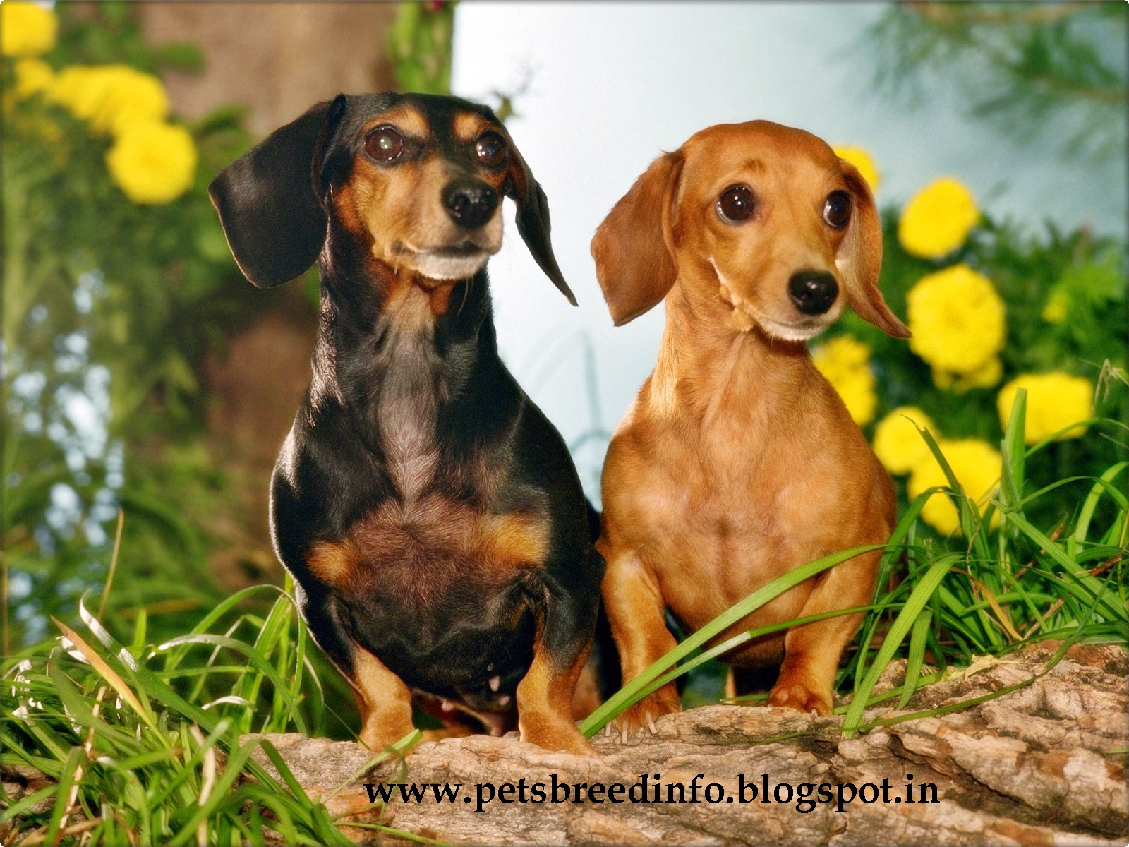Winter Wallpaper Dachshund Dogs Free