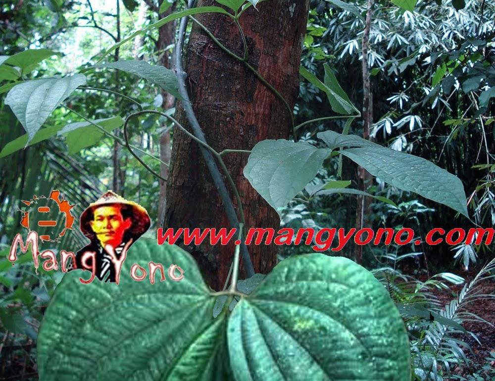 Manfaat Dan Bahaya Dari Umbi Gadung (Dioscorea hispida)
