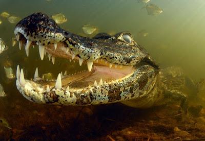 cocodrilo grande con la boca abierta