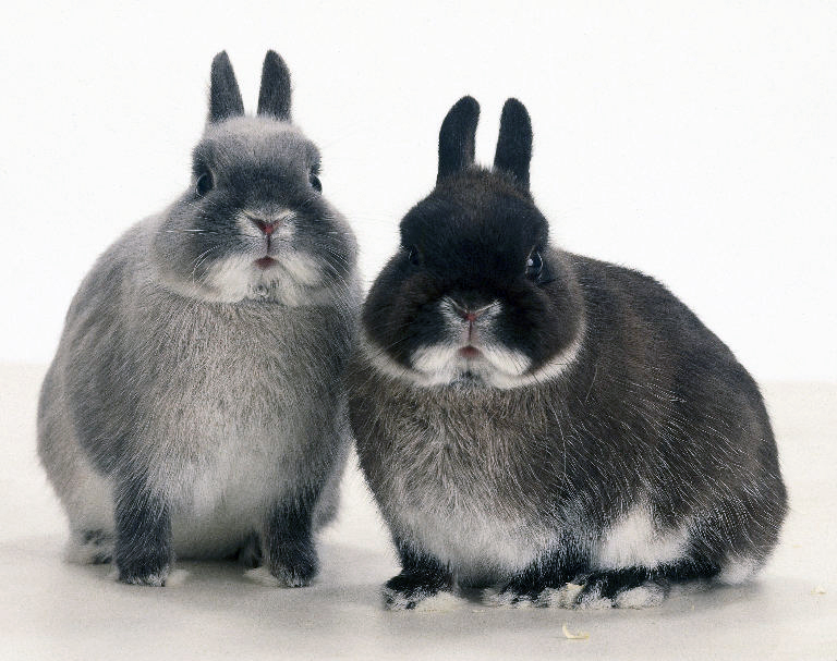 The Netherland Dwarf is a