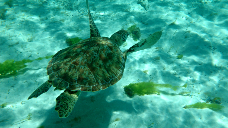 Swimming with turtles in The Grenadines in The Caribbean
