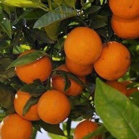 http://mydetik.blogspot.com/2011/08/budidaya-jeruk.html