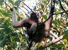 Hoolock Gibbon