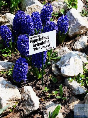 zambile albastre gradina botanica bucuresti