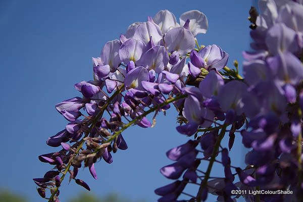 Fragrant wisteria, Wisteria amethist cluster