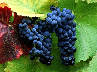 kandungan nutrisi pada anggur ungu