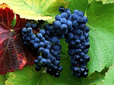Kandungan Nutrisi Buah Anggur Ungu