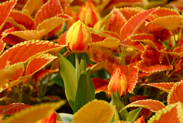 Tulip 'Flair' with Coleus 'Rustic Orange'