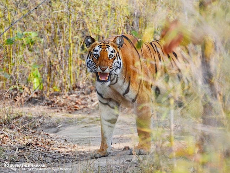 "Tigress ""Madhuri"" emerging from the forest bush onto jeep track."