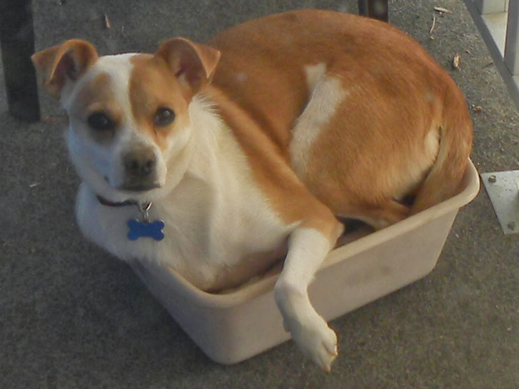 Foster Dog Steals Chihuahua's Bed