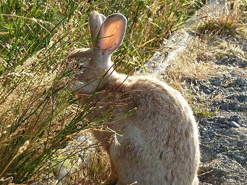 Vancouver Island Bunny