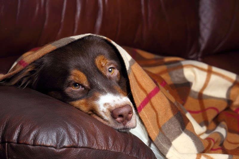 A happy dog snuggled up on the settee