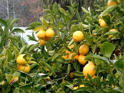 ثمار الليمون