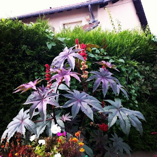 Le ricin, plante très toxique