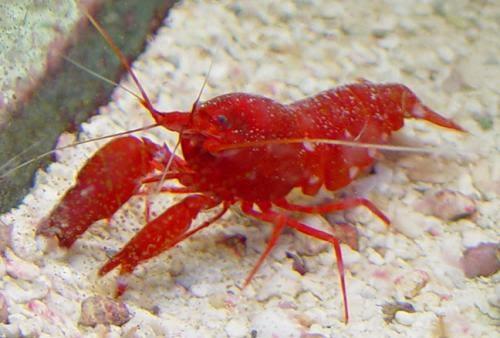 Pistol shrimp : Image source: ParadisePetShop.net