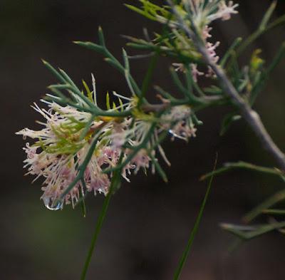 Honey Bush (Hakea lissocarpha)