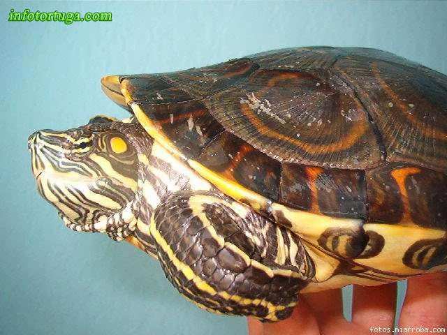 Trachemys emolli - Tortuga escurridiza de Nicaragua