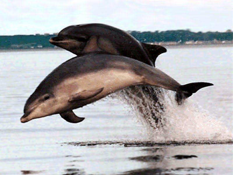 bottlenose dolphin wallpaper. ottlenose dolphin wallpaper.