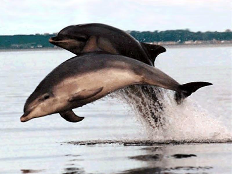 bottlenose dolphin wallpaper dolphins - photo #5