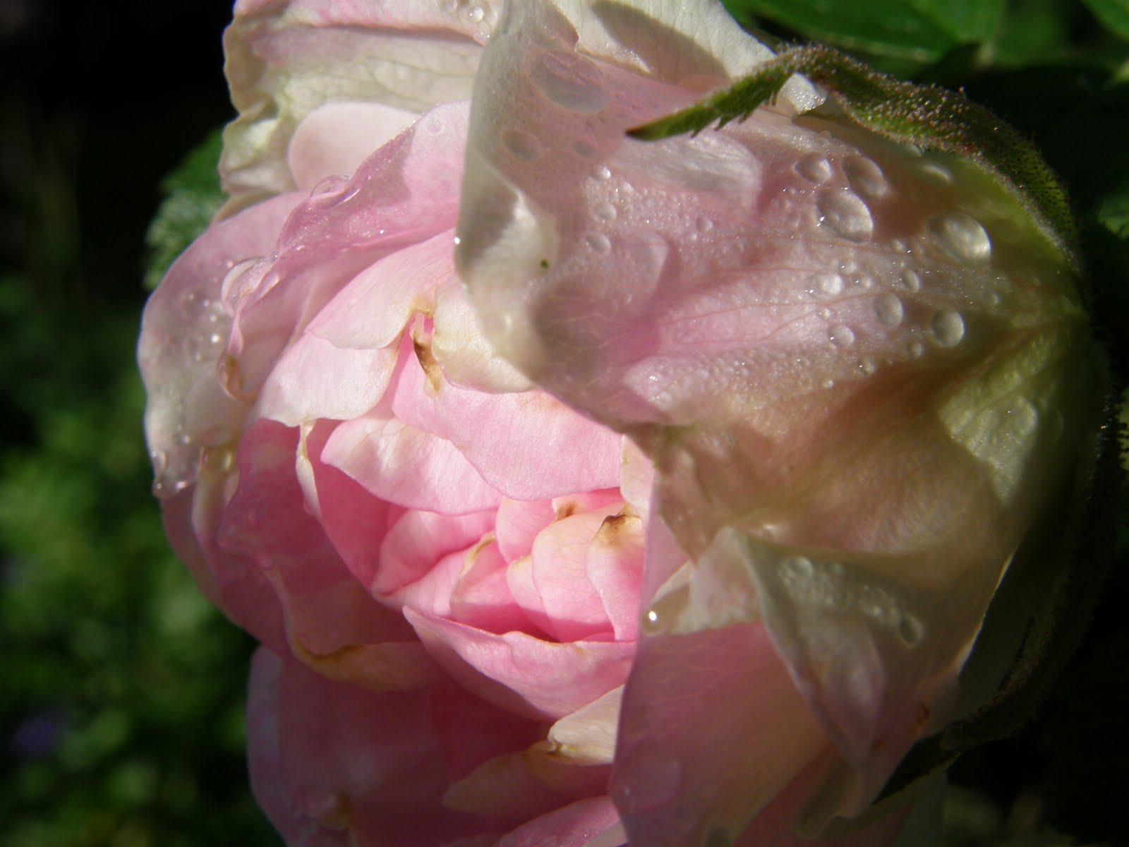 Søndags vi kom fra als var min smukke ritausma rose sprunget ud