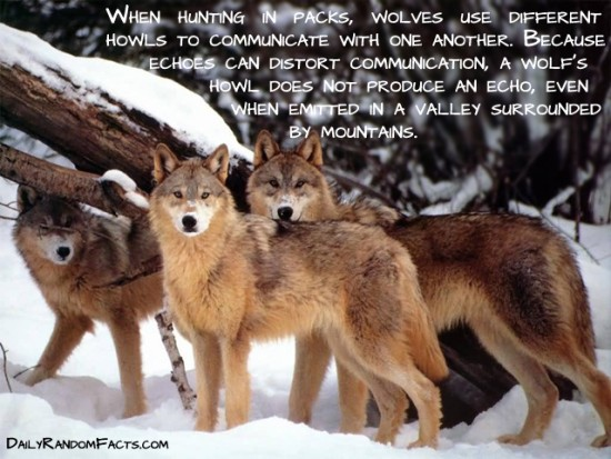 animal facts, facts about animals, interesting animal facts, wolves fact