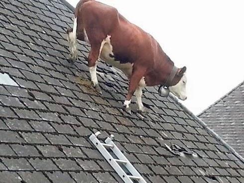 Lembu Duduk Atas Bumbung