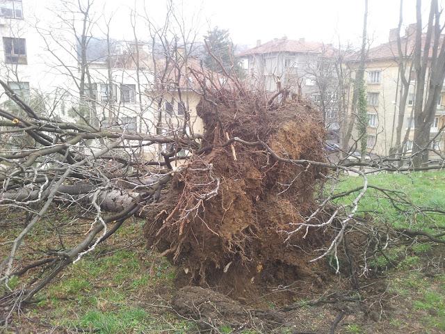 Изтръгнато от корените дърво