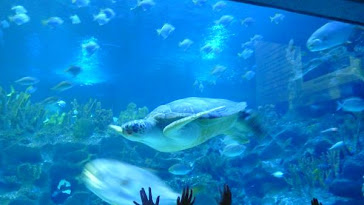 Aquaria Giant Turtle