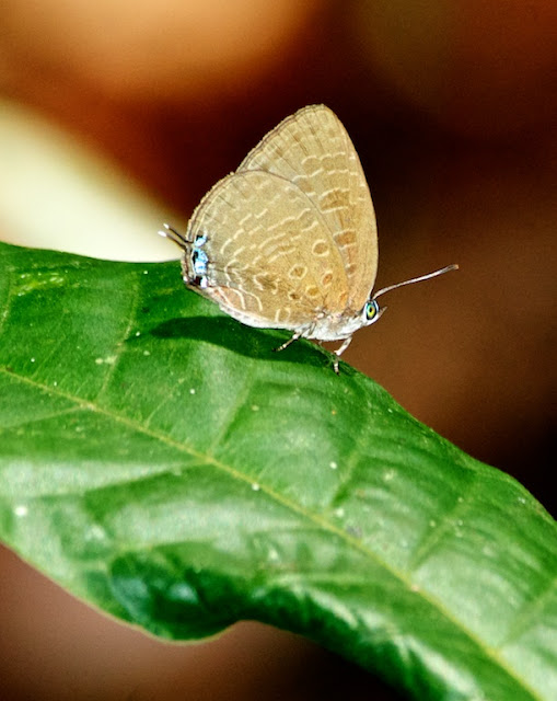 oakblue (Arhopala sp)
