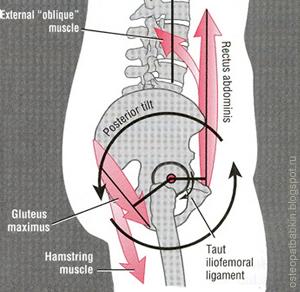 Контрнутация крестца, заднее положение тазовых костей и сглаженность поясничного изгиба обеспечиваются напряжением прямых и косых мышц живота, большой ягодичной и двуглавой мышцой бедра