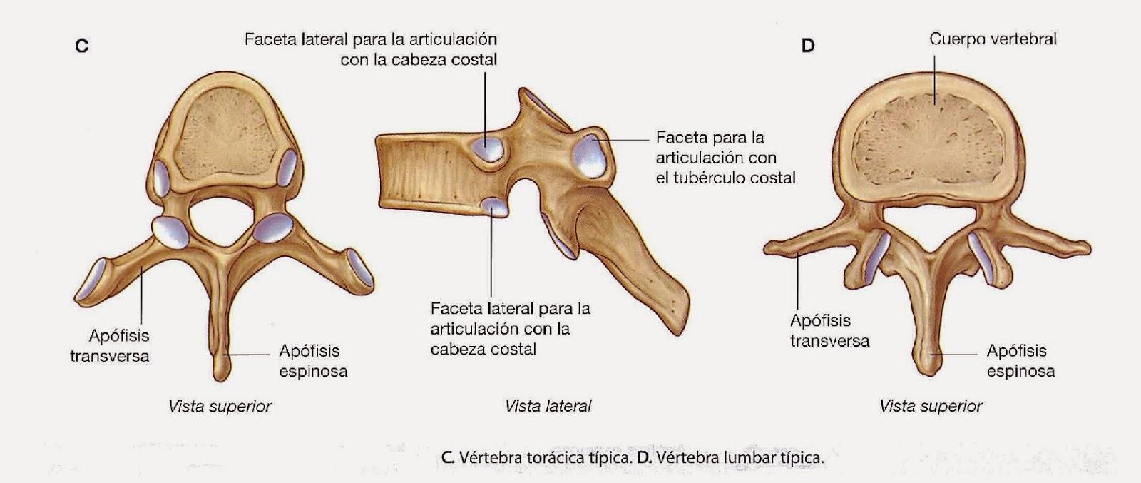 Anatomía de la columna vertebral: ANATOMÍA BÁSICA DE LA COLUMNA ...
