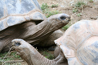 Reptiland, Allenwood PA : Aldabra Tortoise :: All Pretty Things