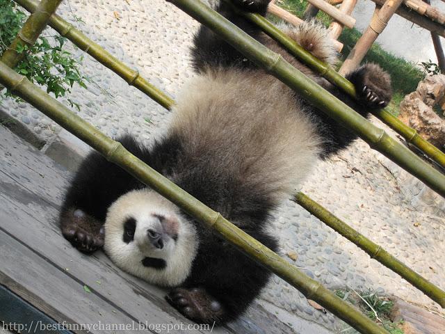 panda bears pictures 33