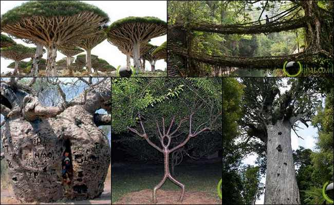 10 Pohon yang paling Teraneh dan Terunik di Dunia