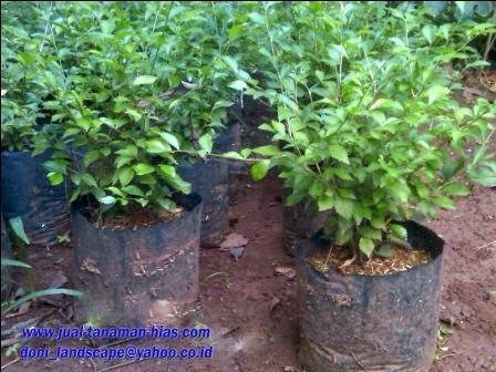 jual pohon teh-tehan   tanaman pagar