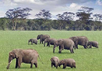 Elefantes en la sabana de Kenia