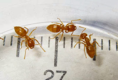 Acropyga ant workers
