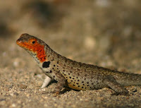 Lava Lizard at Mangle Point, Fernandina, Galapagos