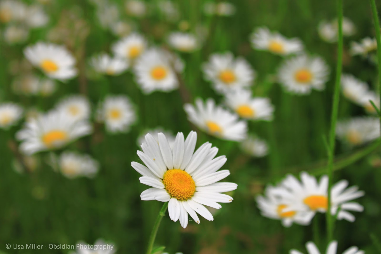 Minto Brown Daisies