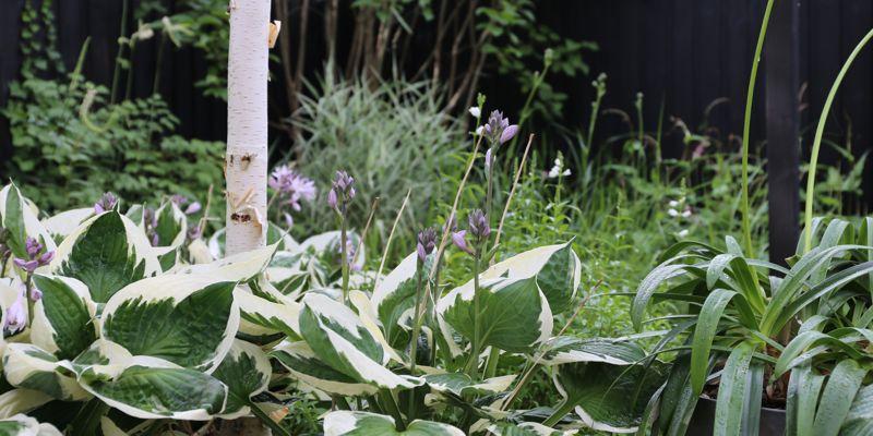 Hosta i blomst