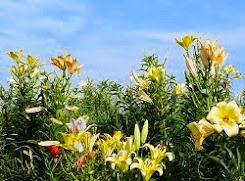 Lilies at Maishima Island