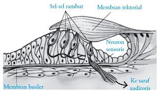 struktur organ Corti telinga