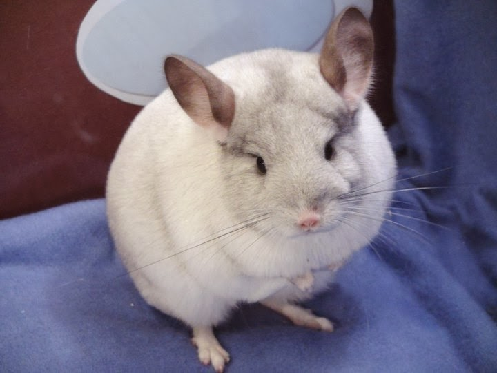 Choco vanille chinchillas mica levage pedigree qu bec - Provoquer fausse couche volontairement ...