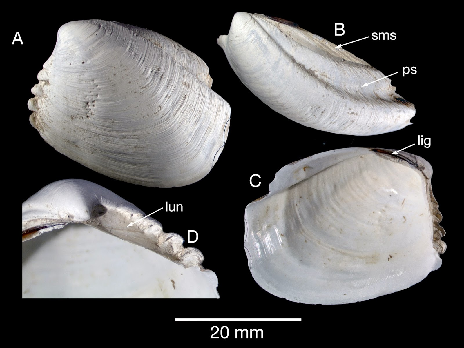 Sciency Thoughts A New Species Of Thyasiroid Clam From British